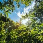 Pourquoi choisir le chanvre cultivé américain pour CBD?