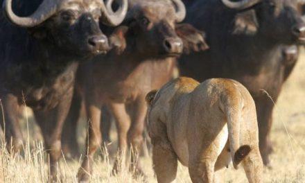 Untamed Botswana : une expérience sauvage inégalée